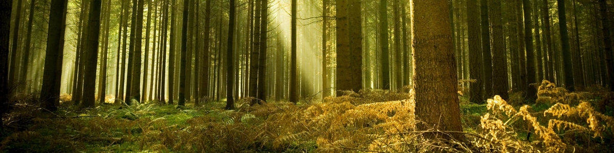 forest-tree-sun-ray-light-spruce_.jpg