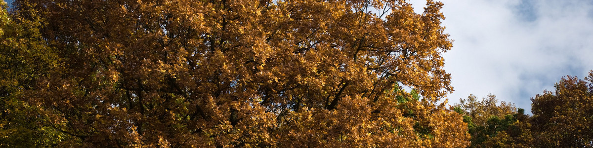 yellow-oak_.jpg